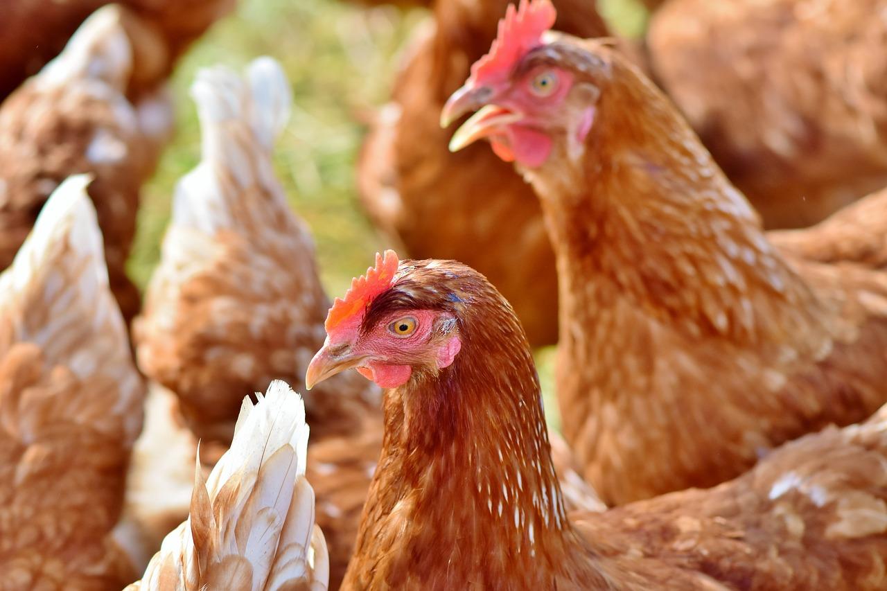 É obrigatório declarar as galinhas poedeiras