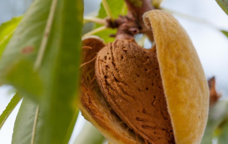 Cultura da Amendoeira estará em debate, esta quarta-feira, em Beja - ODigital.pt