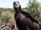 Abutre-Preto em vias de extinção no Alentejo