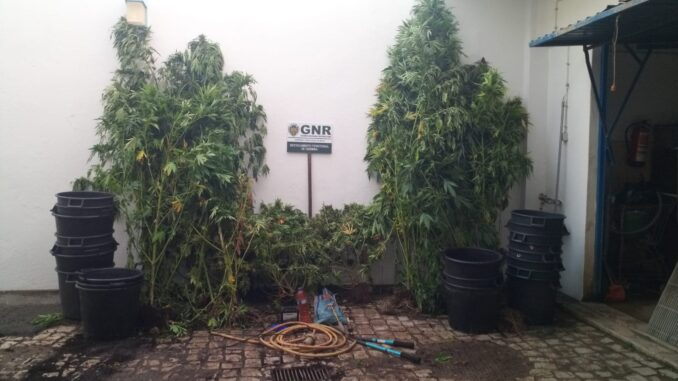 Apreensão de canabis em Odemira