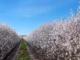 Amendoeiras em flor no Alentejo