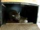 Crias de lince-iberico