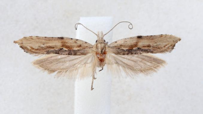 Ypsolopha milfontensis