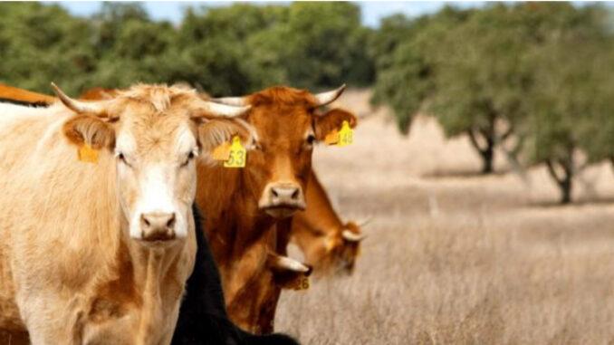 vaca sustentável